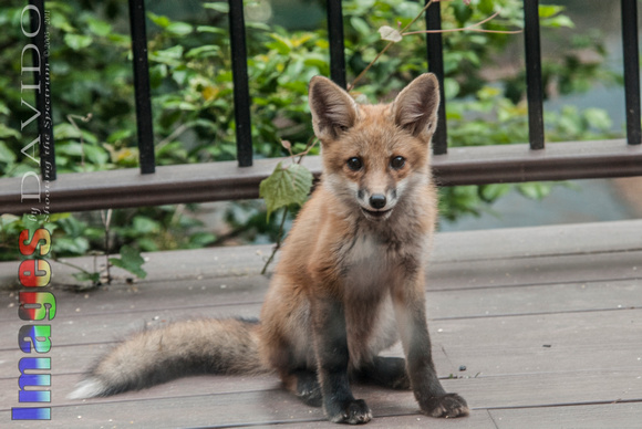 106046 - Kit Fox Sitting