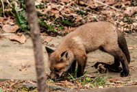 106051 - A Kit Red Fox Sniffing the Ground