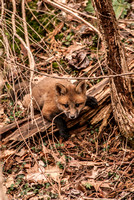 106053 - A Kit Red Fox