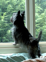100148 Dog Standing On Window Edge