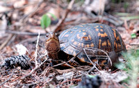 100067 Inquisitive Box Turtle