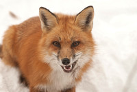 106016 - Red Fox Showing Teeth
