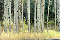 102885 A Grove of Quaking Aspen
