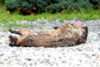 100844 - Groundhog Struck by Vehicle and Holding American Flag