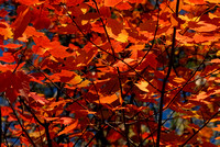 102042 Fall Maple Leaves