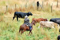 101429 Rancher Herding Cattle