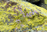 102192 - Lichens with Purple Daisy Plant
