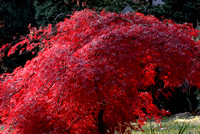 102045 Japanese Red Maple Tree