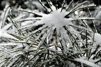 102049 Snow And Ice On Evergreen Needles