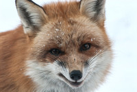 106019 - Portrait of a Red Fox in the Snow