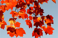 102044 Red Fall Maple Leaves