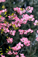 100095 Flowering Dogwood