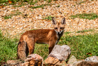 106032- A Kit Red Fox