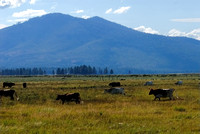 102324 Dairy Cattle Grazing In Oregon Pasture