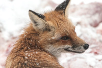 106026 - Snow Covered Red Fox