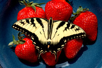 100180 Butterfly Resting On Strawberries