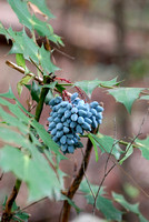 100137 Blue Berries On Holly-Like Evergreen