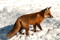 106023 - A Red Fox Standing in the Snow