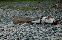 100179 A Dead Squirrel With Rosary
