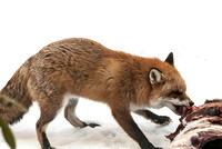 106021 - Red Fox Feeding on a Deer Carcass