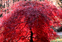 102046 Japanese Red Maple Tree