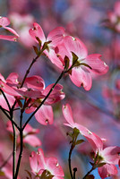 100093 Flowering Dogwood