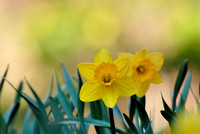 102187 Beautiful Daffodils