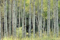 102886 A Grove of Quaking Aspen