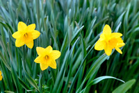 102189Three Yellow Daffodils