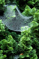 100110 Spider Web Filled With Rain Droplets