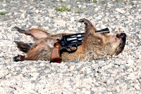 100841 Pistol Placed On Body Of Dead Groundhog