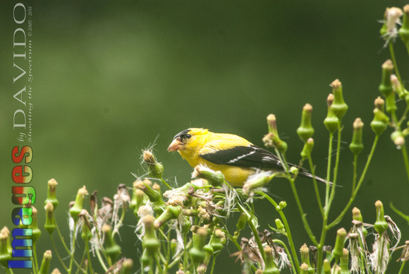 106031 - Male American Goldfinch