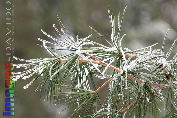 102048 Ice On Evergreen Needles