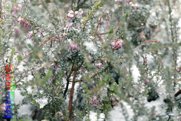 102051 Evergreen Shrub And Flower Petals Covered In Ice