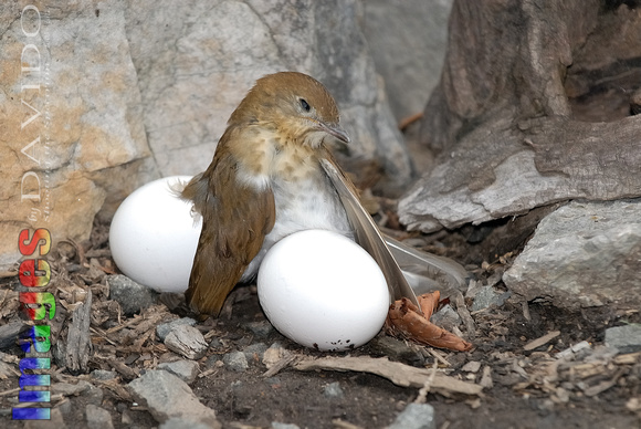 100725 Bird Is Exhausted After Laying Large Eggs