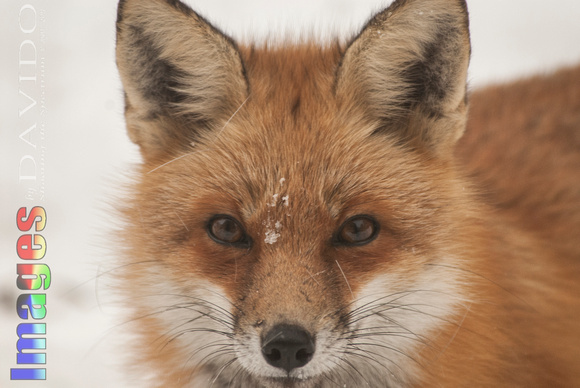106020 - Snow on a Red Fox's Face