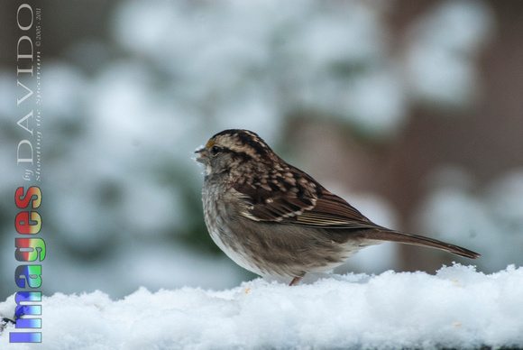 106014 - White-throated Sparrow in the Snow