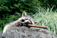 100842 Drunk Raccoon Smoking A Cigar