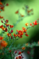 100107 Orange and Apricot Flower Blooms