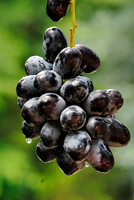 101142 - Pod of Black Grapes