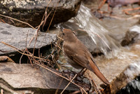 106035 - Hermit Thrush at Mountain Stream