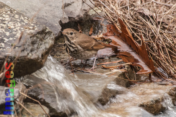 106034 - Hermit Thrush Near Stream