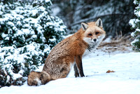 106027 - Red Fox Sitting in the Snow