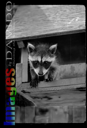 106033 - Young Raccoon Peering Out Of Wooden Birdfeeder